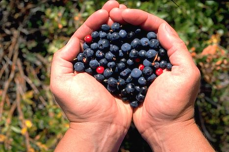 Alaska Berry Picking